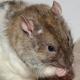 génétique rat
